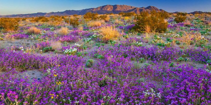 The most abundant winter precipitation to hit California in a decade has flower aficionados budding with optimism about the spring wildflower bloom. Thanks to 2017's rainy downpours and snowy deluge, flower seeds are germinating and roots are spreading. It's already go-time for petal-seekers in California's deserts and inland valleys—like the explosive color along the Fresno County Blossom Trail—and there's more to come.