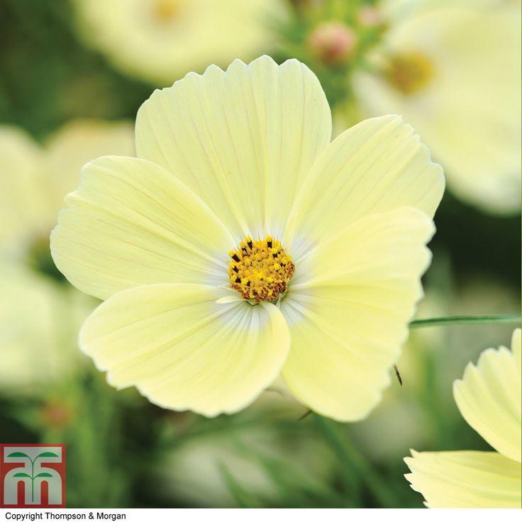 Buy Half Hardy Annual Flower Seeds Online | Thompson & Morgan