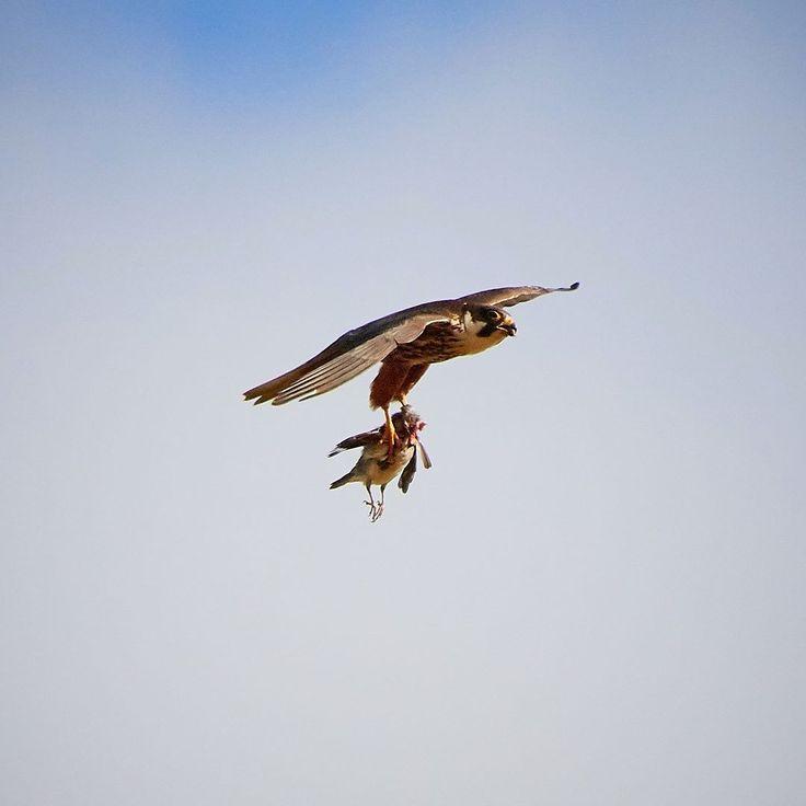 Isommat syövät pienempiä niin kai se luonnossa menee. #birding #birdingdaily #birdsofprey #luontokuva #suomenluonto