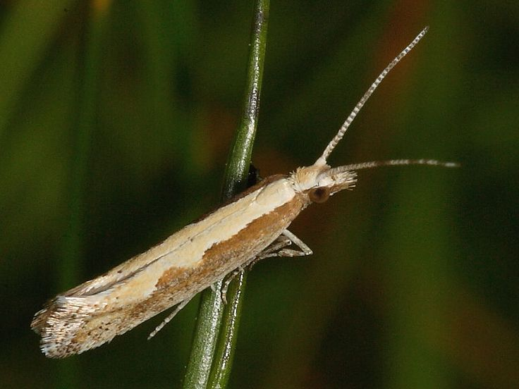 Diamond-back Moth (Plutella xylostella) ☆ In the British Isles it is one of the commonest migrant moths with annual influxes often in the millions.
