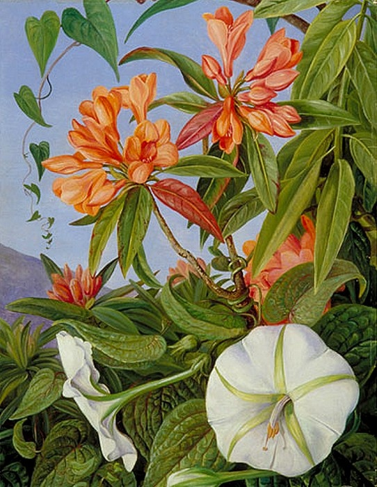 Rhododendron and morning glory, Marianne North