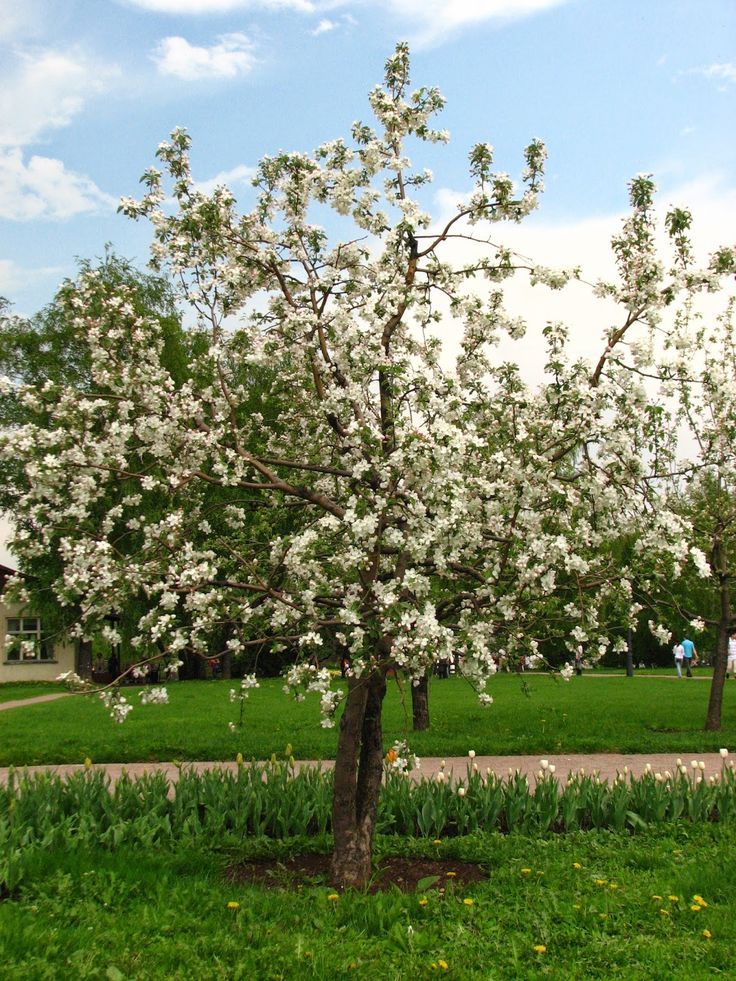 Common Apple - Malus domestica, Zone 4, Medium tree. spring bloomer with white and pink flowers.