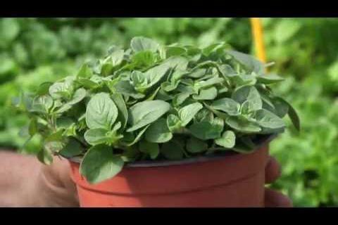 Jak pěstovat bylinky?