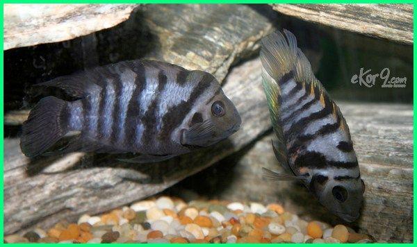 10 Ikan Hias Paling Mudah Dan Cepat Berkembang Biak Dunia Fauna Hewan Binatang Tumbuhan Ikan Binatang Hewan