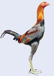 A large modern game, very striking bird.  Very few about which is a shame.