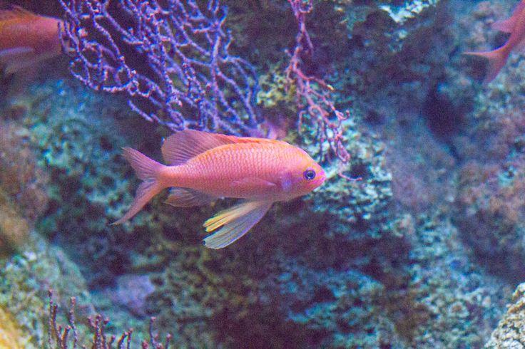 Pesce di colore rosso...