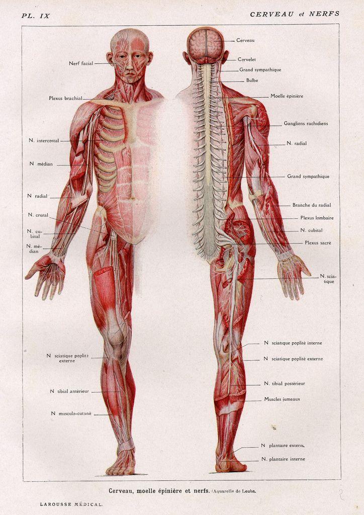 Mejores 43 imágenes de ANATOMIE HUMAINE en Pinterest | Anatomía ...