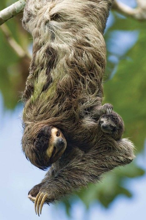 Brown-throated Three-toed Sloth And Newborn