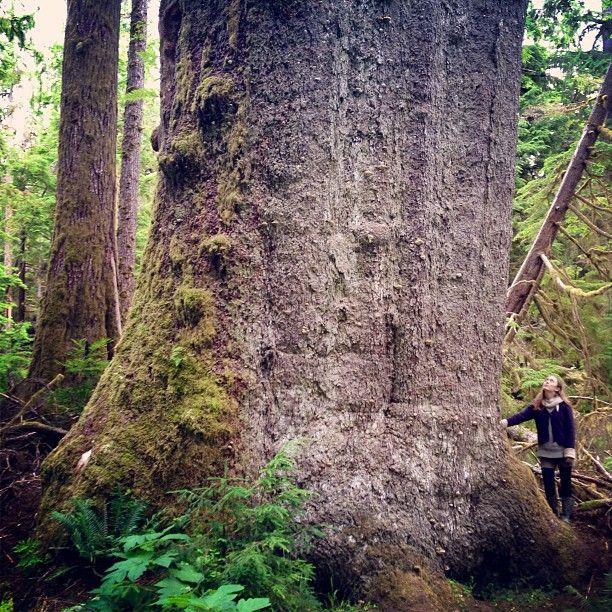 """Yakun Spruce"" on Haida Gwaii. Big doesn't even begin to describe these ancient & beautiful trees! #explorebc Photo by @utopiaphoto"