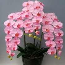 30 Sementes Orquídea Butherfly +20 Rosa Arco Íris Flor Grama