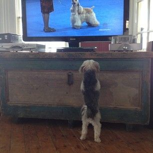 It just might be the best part of Thanksgiving. | Dogs Watching The National Dog Show Is The Best Part Of Thanksgiving