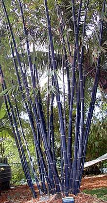 Black Timber bamboo - clumping (so it won't go crazy and spread!)