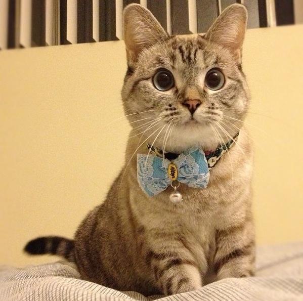 A Siamese/tabby mix. Stupid Cats Pinterest