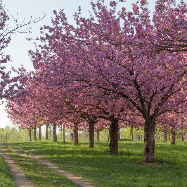 Madeira Cherry Blossom Trees Google Search Cherry Blossom Tree Nature Photography Flowers Blossom Trees