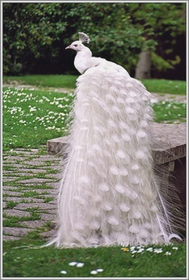 White Peacock Tail@Michelle Cox