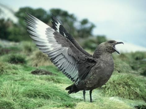 Subantarctic skua. Catharacta antarctica (Lesson, 1831 Adult displaying. North East Island, Snares Islands, November 1987. Image © Colin Miskelly by Colin Miskelly