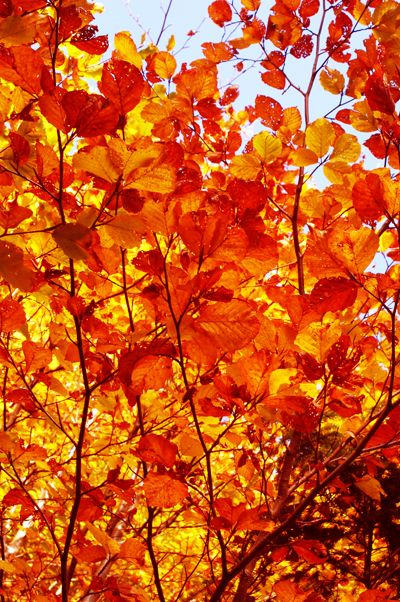 The color of these Autumn (fall) leaves are amazing!  Love the reds and oranges.