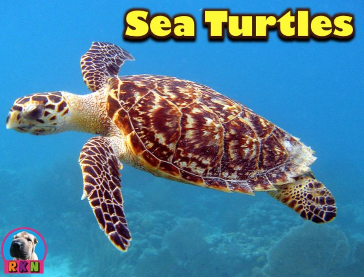 the characteristics and the habitat of sea turtles Sea turtles habitat & distribution distribution various species of sea turtles are found in warm and temperate seas throughout the world (see the table below for more information.
