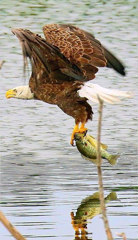 Birds of Prey - American Bald Eagle in flight catching fish. - by Dennis Adair