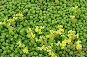 rather than grass plant sedum!! Never mow! Walk on it and get thicker sedum... why doesn't everyone do this? it's TOO green...