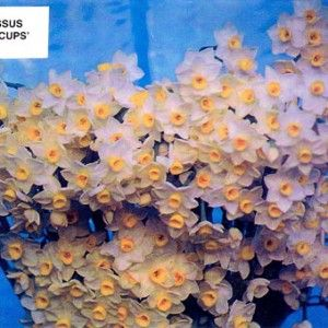 Sugar Cups Narcissus Bulbs hardly require any care. Easy to grow! #droughttolerant