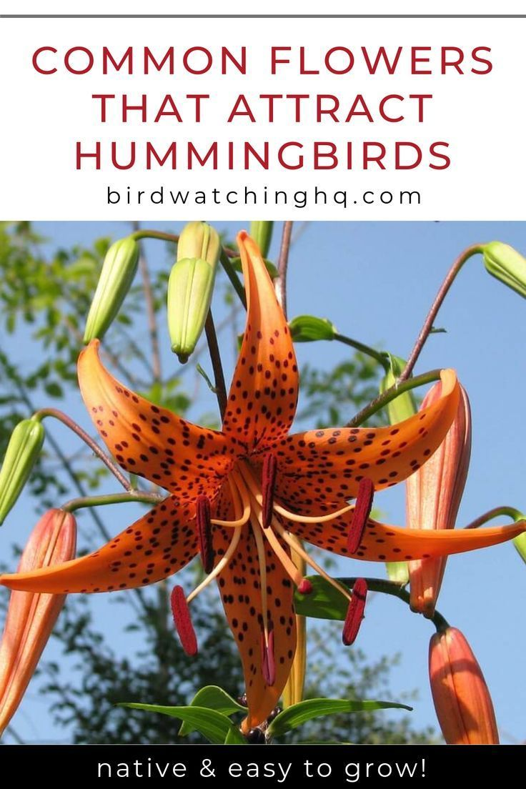 Forget Messy Nectar Feeders Use These Flowers That Attract Hummingbirds To C How To Attract Hummingbirds Flowers That Attract Hummingbirds Hummingbird Habitat