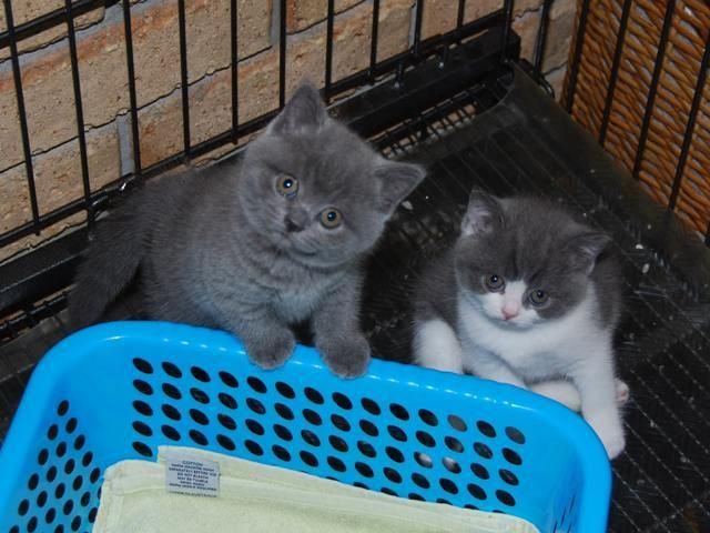 British Shorthair Kittens British Shorthair Cats