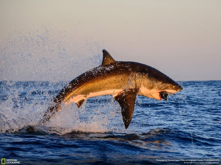 Incredible shark photo! From The #NationalGeographic Traveler Photo Contest. Captured by Thomas Pepper