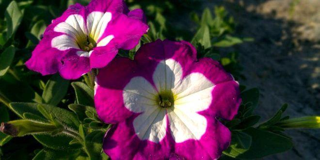 Petunias Colors Petunias Colors Container Gardening Petunias