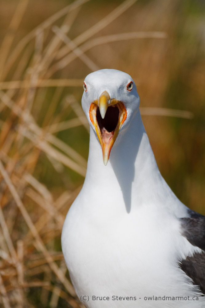Great Black-backed Gull, Bon Portage Island, Nova Scotia