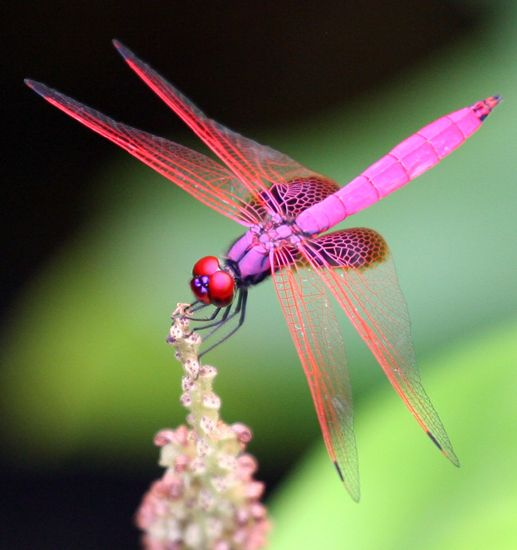 red-headed pink dragonfly.