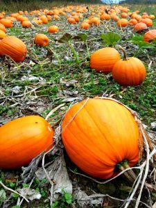 A day out at Ballycross Apple Farm featuring a Pumpkin Patch http://bumblesofrice.com/2013/10/12/a-walk-at-ballycross-apple-farm/