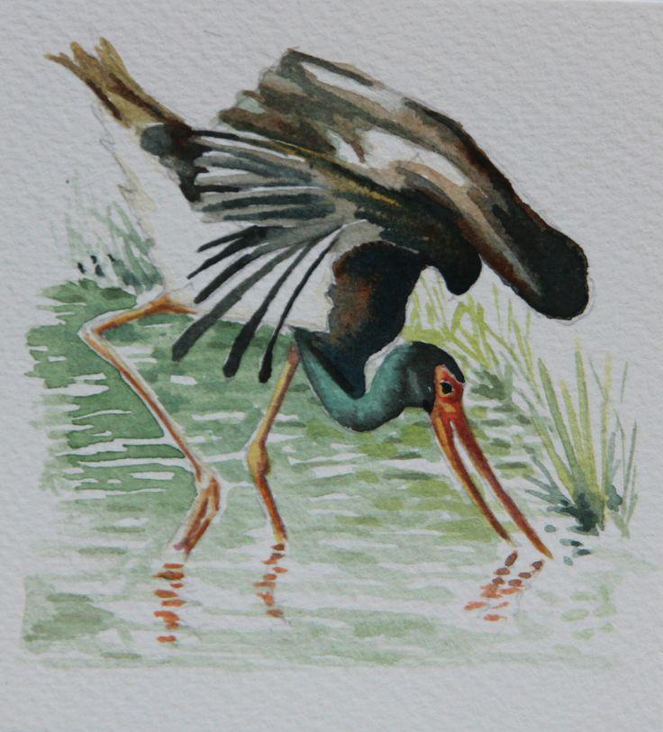 Black stork.