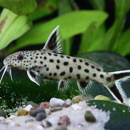 Petricola Synodontis £12.95 - boisterous fish