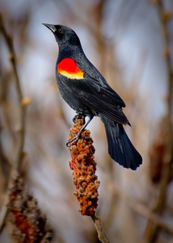 "Red-Winged Black-Bird "" blackbird singing in the middle of the night....."
