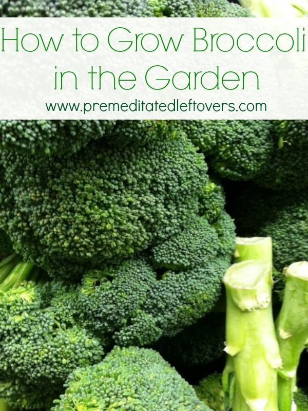 Tips for Growing Broccoli in Your Garden. Vegetable gardening tips including how to grow broccoli from seed, how to transplant broccoli sprouts & when to harvest broccoli plants.