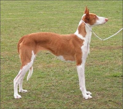 Ibizan Hound  #: Hound Photos, Dogs And Puppies, Dogs Breeds, Hound Podenco, Paraoh Hound,  Ibizan Podenco, Ibiza Hound, Pharaoh Hound, Podenco Ibicenco
