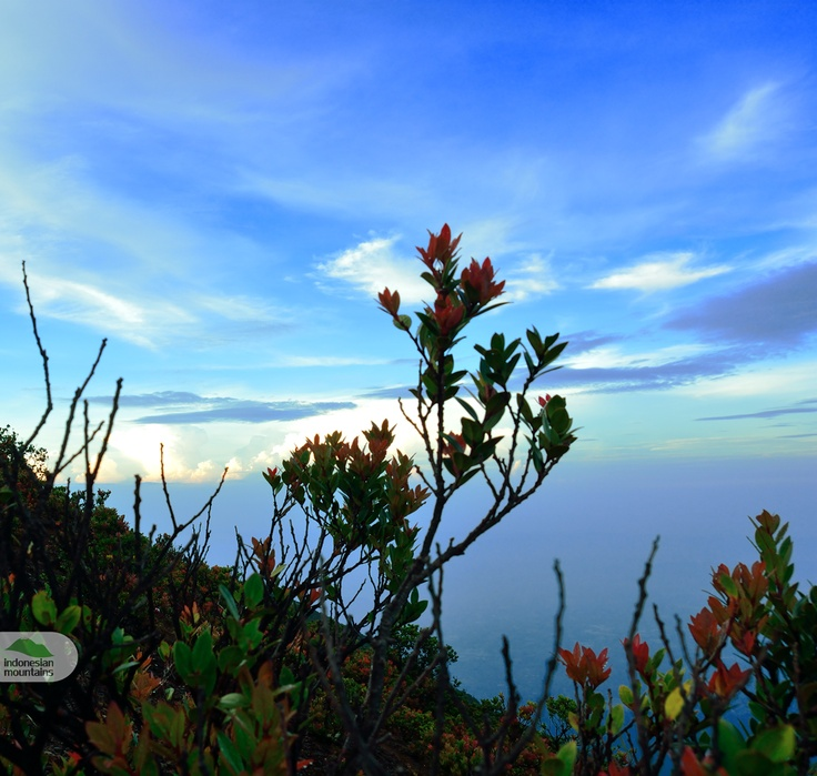 Cantigi tree at Gede's peak