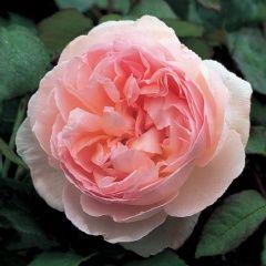 Sharifa Asma - David Austin Roses