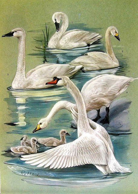 Birds 1972 Encyclopedia Print, via Flickr.