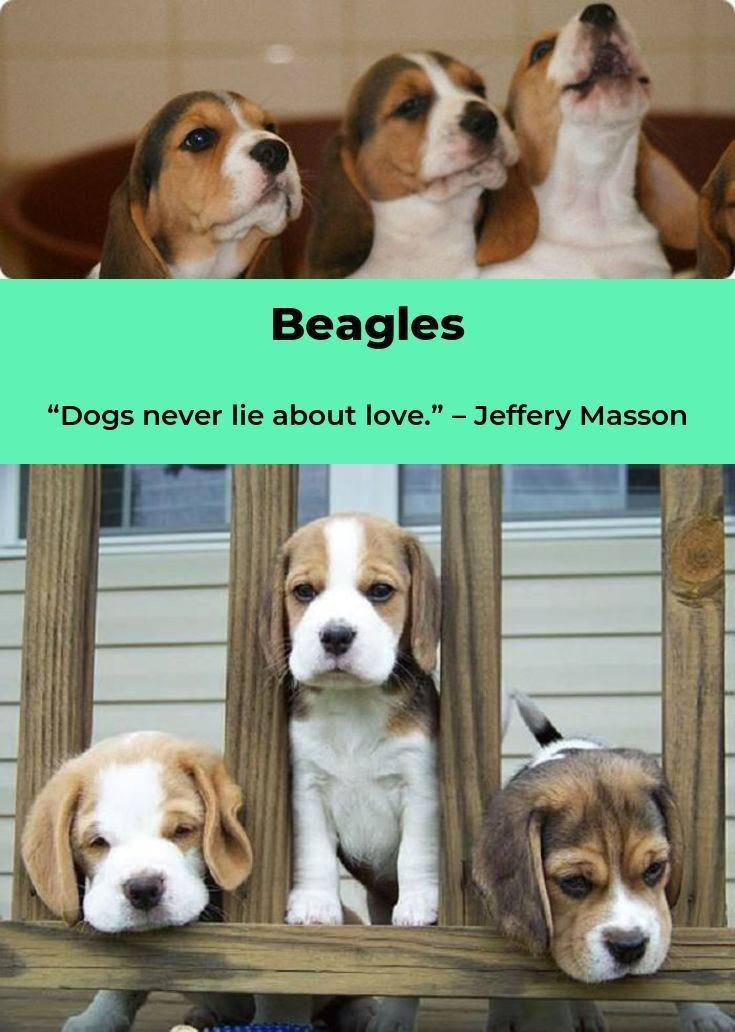 Beagles Forever Beagle Beagles Names Dog Style