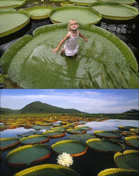 Victoria Amazónica, la planta que puede soportar hasta 40 kg  lista de cubo: sentarse en una hoja de nenúfar gigante en el río del Amazonas