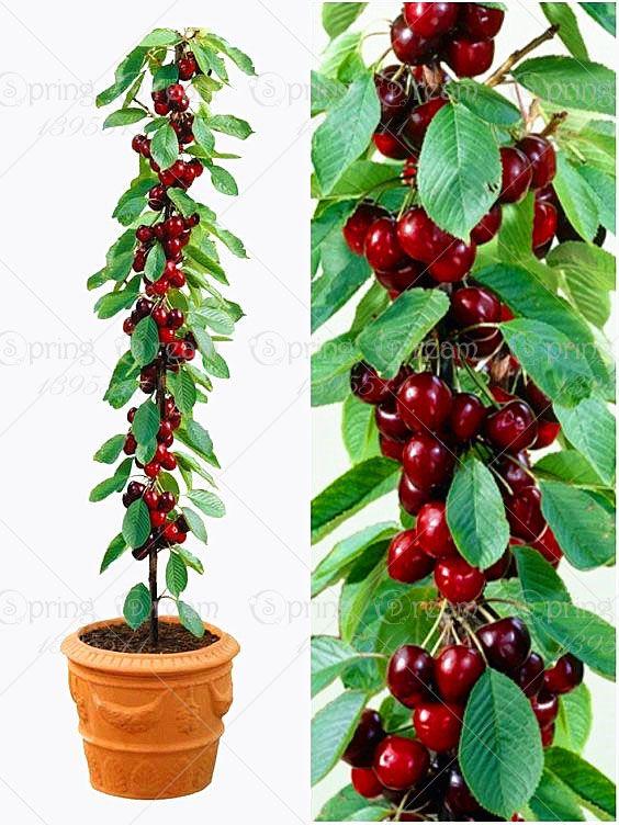 20 шт./пакет черри бонсай фруктовые семена Сладкий Сильвия Вертикально Вишня самофертильными Dwarf Tree семена растений горшок домашний сад