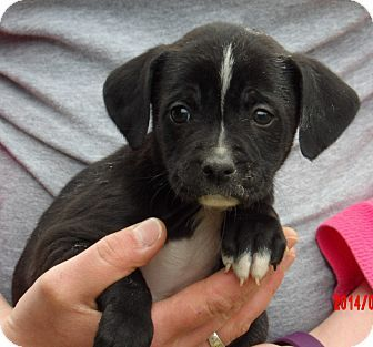 Williamsport, MD - Border Collie/Shepherd (Unknown Type) Mix. Meet Chief (5 lb) Video!, a puppy for adoption. http://www.adoptapet.com/pet/17685210-williamsport-maryland-border-collie-mix