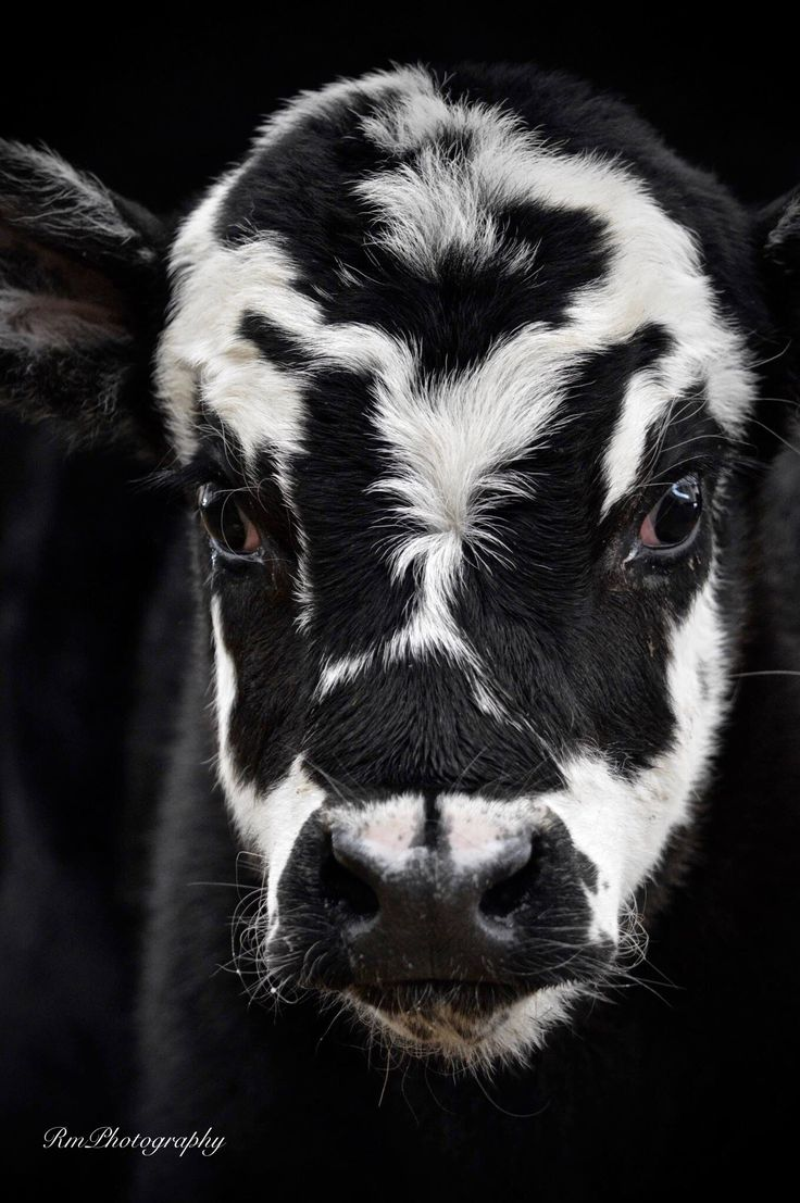 best images about cows on pinterest animals and pets farm
