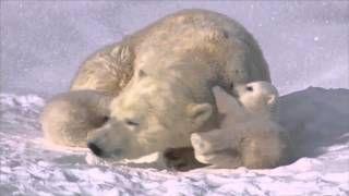 βιντεο για πολικές αρκούδες για το νηπιαγωγείο - YouTube