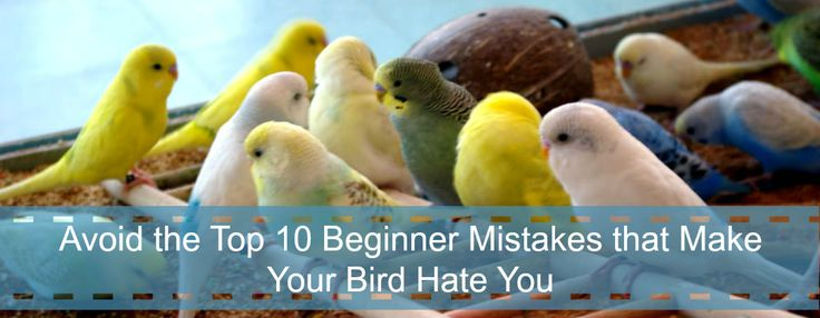Avoid the Top 10 Beginner Parakeet Care Mistakes that Make Your Bird Hate You