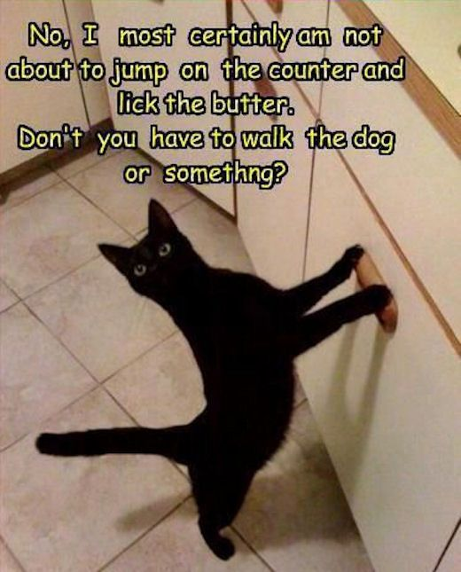 Mischevious Cat funny cute animals cats pets funny quotes humor funny animals