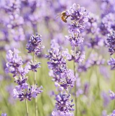 Learn how to grow lavender in your garden
