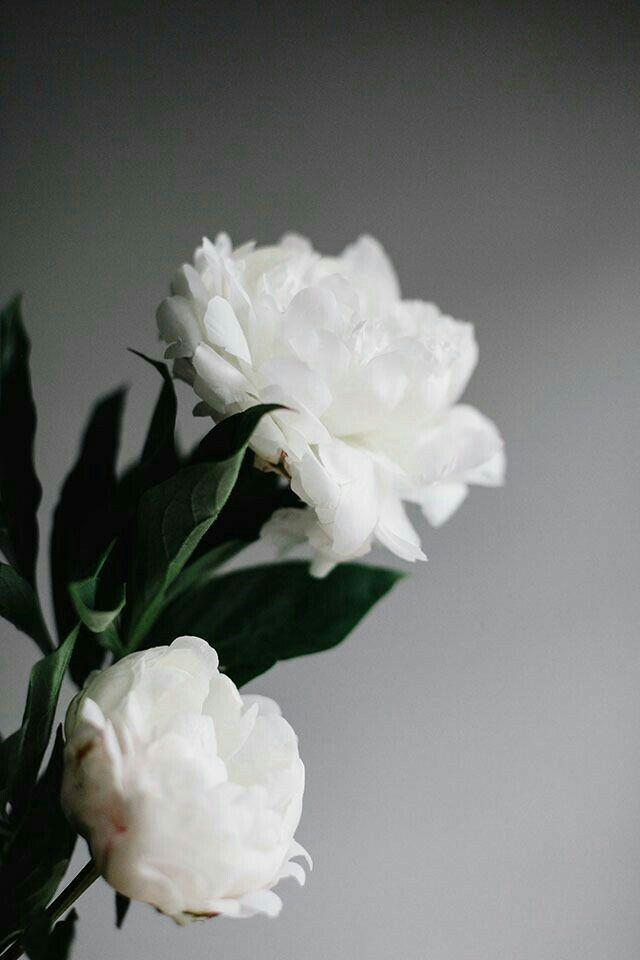 Pin By عاشق الورد الأبيض On Bloosom White Flowers Pretty Flowers Beautiful Flowers